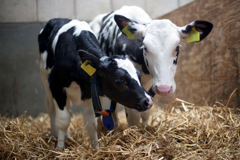 Fosfaatrechten, voor welk jongvee?