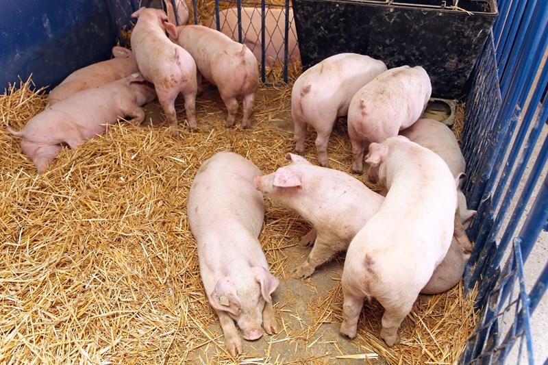 Hoofdlijnen saneringsregeling varkenshouderij