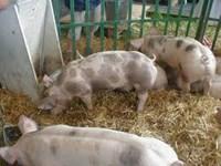 Normen staldieren aangepast: hogere stikstofcorrectie varkens